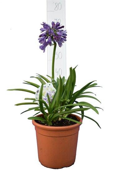 Agapanthus Purple Delight pot Ø 25 cm
