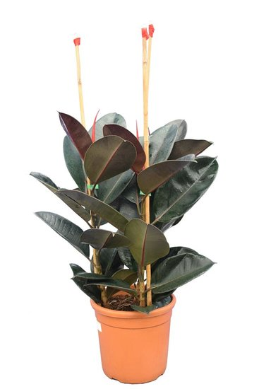Ficus elastica Abidjan pot Ø 25 cm