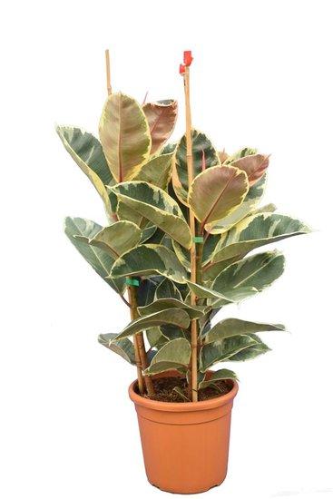 Ficus elastica Tineke pot Ø 25 cm