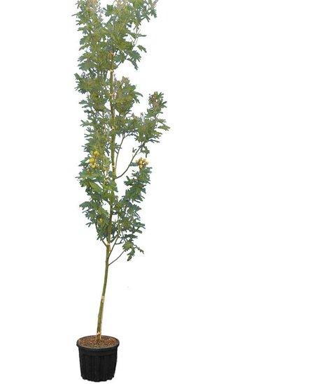 Acacia dealbata pot Ø 33 cm