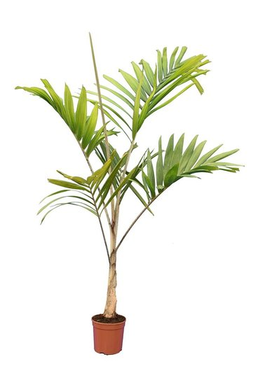 Veitchia joannis pot Ø 20 cm
