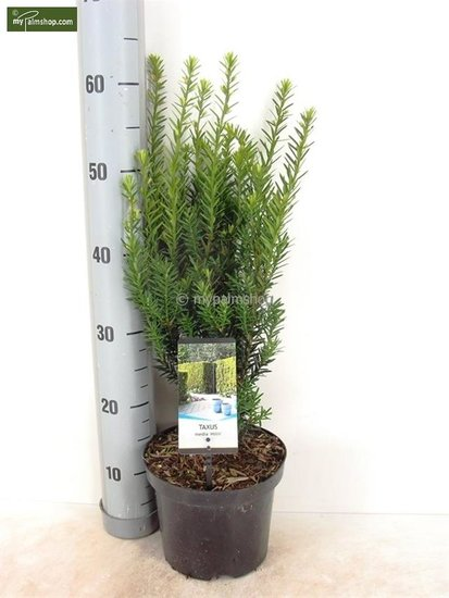 Taxus media 'Hillii' pot: Ø 19cm