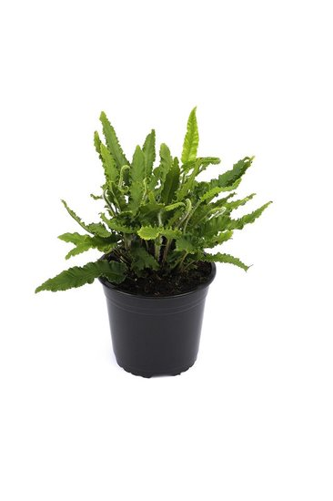 Asplenium scolopendrium Angustifolia pot 1,7ltr.