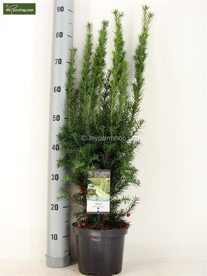 Taxus media 'Hicksii' pot: Ø 19cm