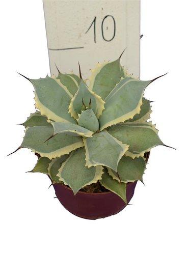 Agave potatorum pot Ø 14 cm