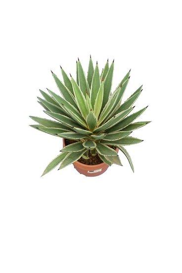 Agave angustifolia Variegata pot Ø 17 cm