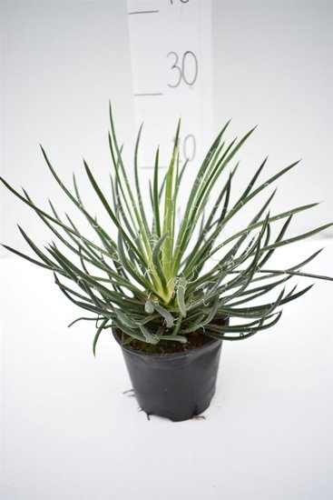 Agave geminiflora pot Ø 14 cm
