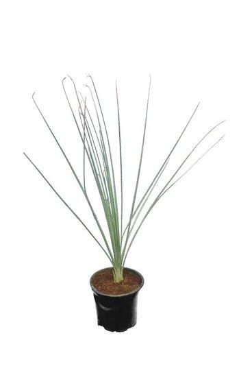 Dasylirion parryanum pot Ø 12 cm
