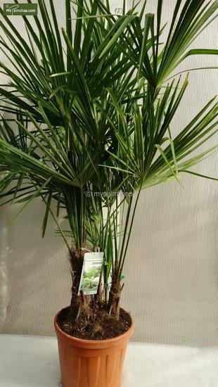 Trachycarpus fortunei ITALY Multitrunk totale hoogte 150-170 cm