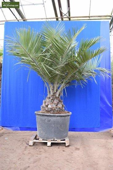 Jubaea chilensis stam 45+ cm