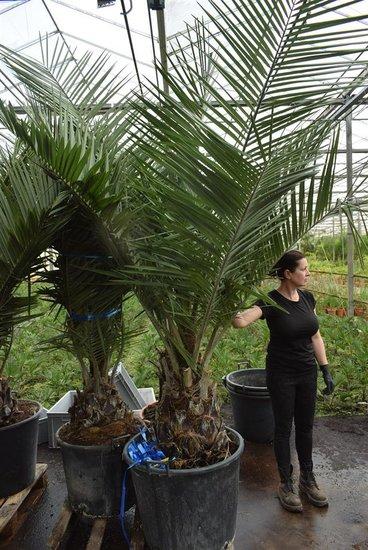 Jubaea chilensis pot Ø 65 cm
