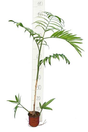 Chamaedorea seifrizii pot Ø 13 cm