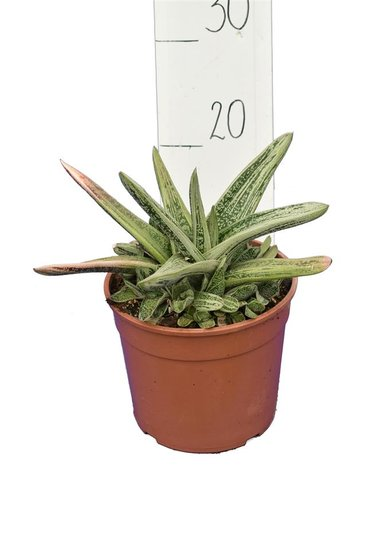 Gasteria Little Warty pot Ø 19 cm