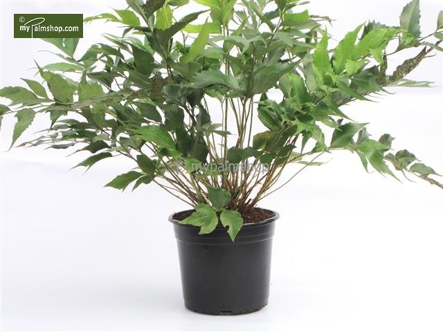 Cyrtomium falcatum pot 5 ltr
