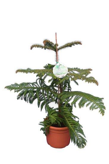 Araucaria heterophylla totale hoogte 80-100 cm
