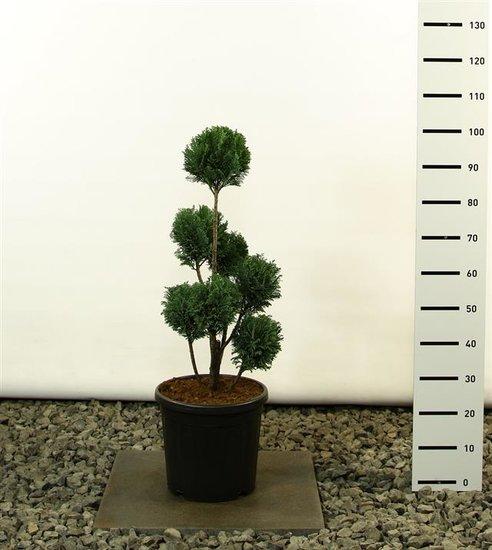 Chamaecyparis lawsoniana Elwoodii Multibol - totale hoogte 60-80 cm