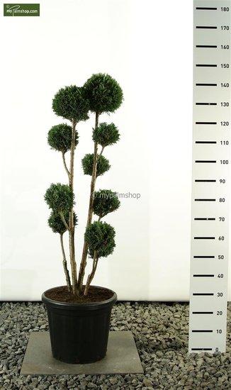 Chamaecyparis lawsoniana Elwoodii Multibol totale hoogte: 100- 125cm