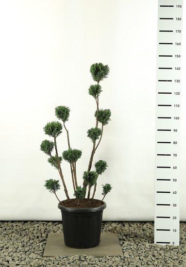 Chamaecyparis Lawsoniana Elwoodii Multibol - Totale hoogte 125-150 cm