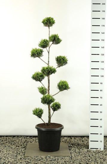 Cupressocyparis leylandii sp. Castlewellan Gold Multibol - totale hoogte 125-150 cm