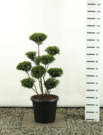 Ilex crenata Green Hedge Multiplateau extra -  totale hoogte 80-100 cm