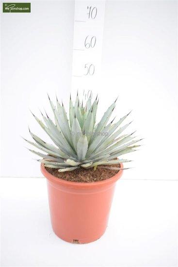 Agave macrocantha Blue - totale hoogte 40-50 cm - pot Ø 26 cm