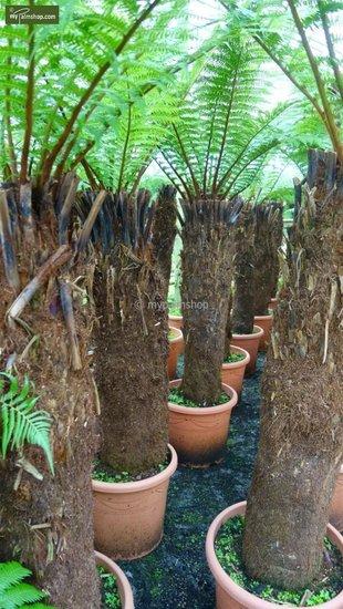 Dicksonia antarctica stam 130-150cm - totale hoogte 270+ cm