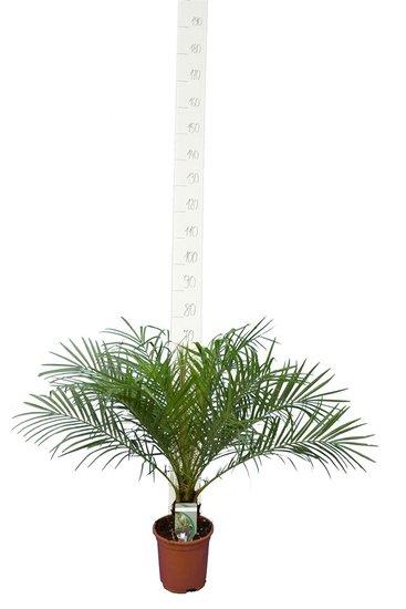 Phoenix roebelenii stam 5-10 cm - totale hoogte 60-80 cm