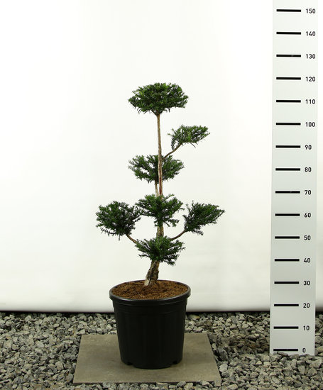 Taxus baccata Multiplateau - totale hoogte 125-150 cm