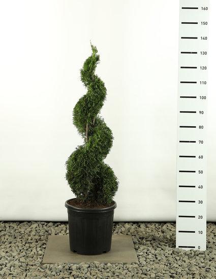 Thuja occidentalis Smaragd Spiraal -  totale hoogte 100-125 cm