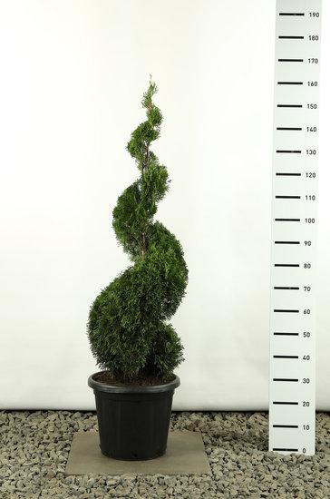 Thuja occidentalis Smaragd Spiraal - totale hoogte 150-170 cm