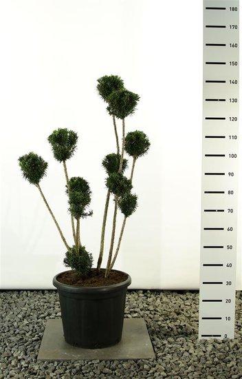 Taxus media Hicksii Multibol - totale hoogte 100-125 cm