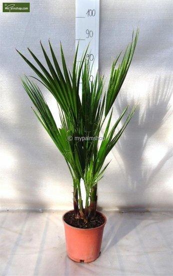 Washingtonia robusta Multistam pot Ø 18cm - totale hoogte 70-90 cm