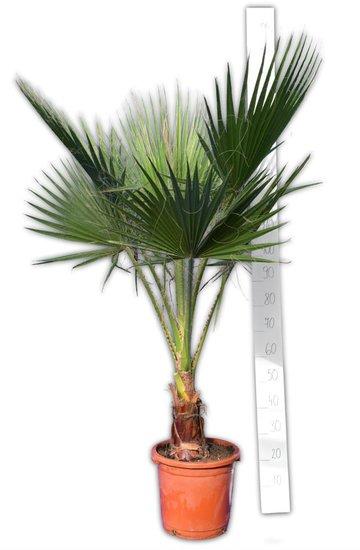 Washingtonia robusta stam 20-30 cm - pot Ø 32 cm - totale hoogte 150-180 cm