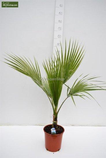 Washingtonia robusta pot Ø 22 cm - totale hoogte 80-100 cm