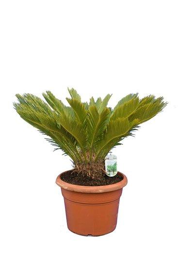 Cycas revoluta pot Ø 38 cm - totale hoogte 70-90 cm
