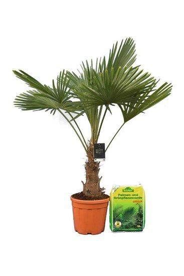 Trachycarpus fortunei stam 25-35 cm + 10 ltr palmengrond