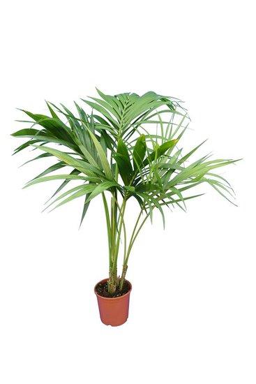 Howea Forsteriana totale hoogte 100-120
