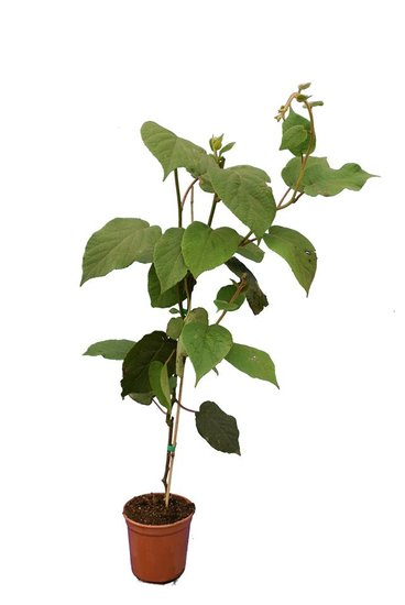 Actinidia chinensis Hayward pot Ø 17 cm