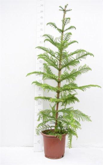 Araucaria heterophylla pot Ø 32 cm