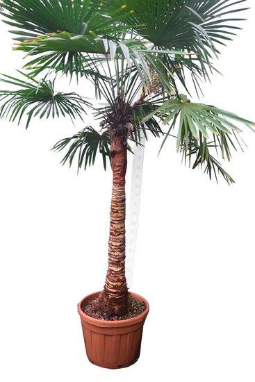 Trachycarpus fortunei Stripped trunk stam 120-140 cm