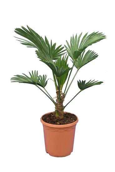 Trachycarpus wagnerianus Frosty pot Ø 23 cm totale hoogte 60-80 cm