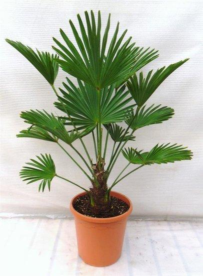 Trachycarpus wagnerianus stam 15-25 cm totale hoogte 90-110 cm