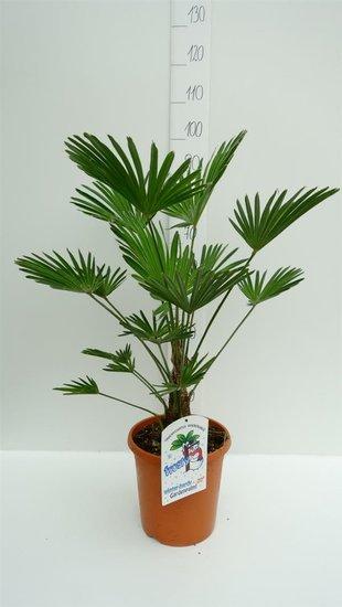 Trachycarpus wagnerianus stam: 15+ pot: Ø 26cm