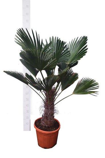 Trachycarpus wagnerianus stam 30-40 cm