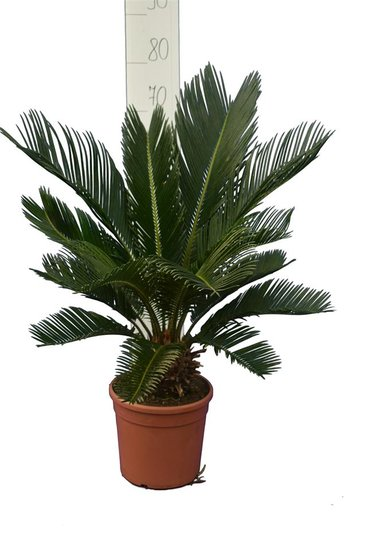 Cycas revoluta stam 8+ cm - pot Ø 20 cm - totale hoogte 50-70 cm