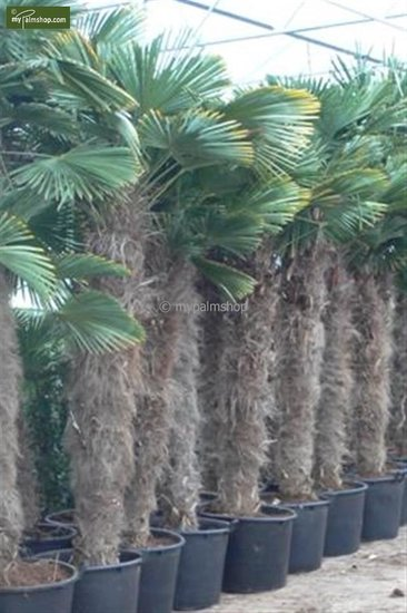 Trachycarpus wagnerianus stam 180-200 cm [pallet]