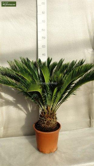 Cycas revoluta stam 20 cm - pot Ø 35cm - totale hoogte 55-65 cm [pallet]