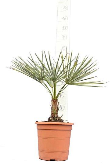 Chamaerops humilis Cerifer totale hoogte 50-70 cm - pot Ø 22 cm