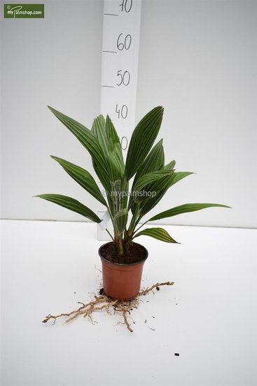 Chamaerops humilis Vulcano totale hoogte 30-40 cm - pot Ø 13 cm