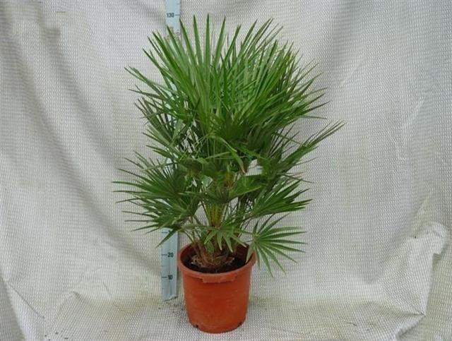 Chamaerops humilis stam 15-20 cm